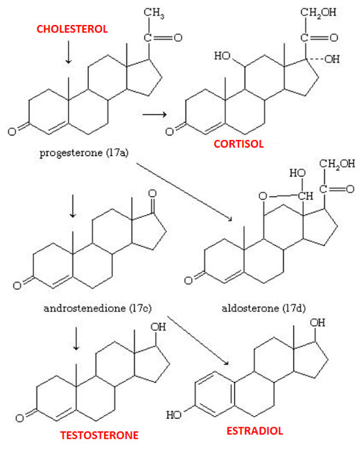 steroid biosynthesis