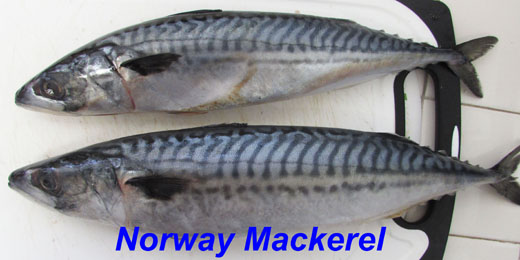 mackerel - norway with label