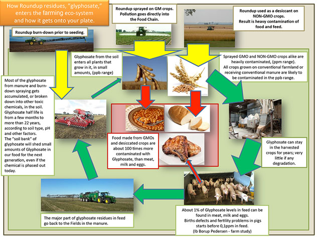 glyphosate in the food chain