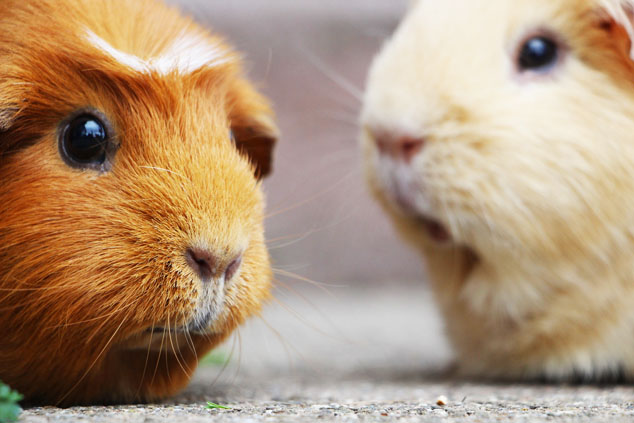 guinea pigs defending your health